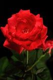 Красный Rose Стоковые Фотографии RF