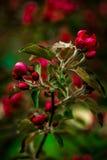 красный sakura стоковое изображение