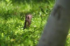 Красный Sciurus squirell vulgaris в зеленой траве forre горы Стоковая Фотография RF