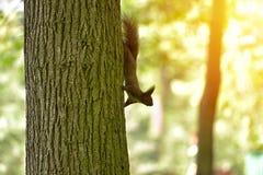 Красный Sciurus squirell vulgaris на дереве Стоковые Изображения RF