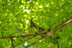 Красный Sciurus squirell vulgaris на зеленом дереве Стоковая Фотография