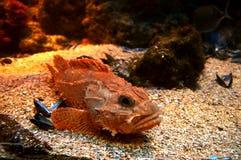 красный scorpionfish Стоковое Фото
