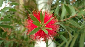 Красный spiky цветок - bottlebrush Стоковое фото RF