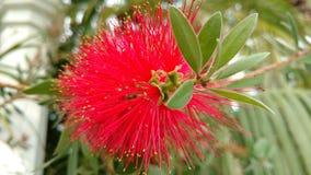Красный spiky цветок - bottlebrush Стоковое Изображение RF