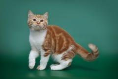 Красный striped котенок на зеленой предпосылке Шотландский bicolor кот Стоковые Изображения RF