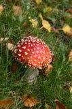 Красный toadstool Стоковые Фотографии RF