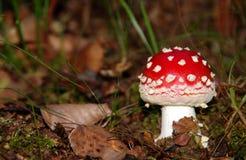 Красный toadstool Стоковые Фото