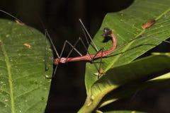 Красный Walkingstick Стоковое Изображение