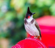 Красный-whiskered Bulbul Стоковые Изображения