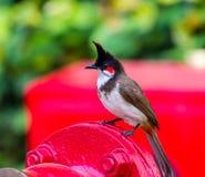 Красный-whiskered Bulbul Стоковое Изображение