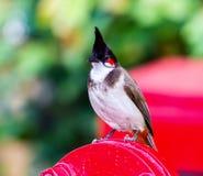 Красный-whiskered Bulbul Стоковое Изображение RF