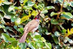 Красный-whiskered Bulbul Стоковые Фотографии RF