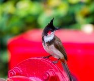 Красный-whiskered Bulbul Стоковое Фото