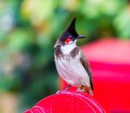 Красный-whiskered Bulbul Стоковая Фотография