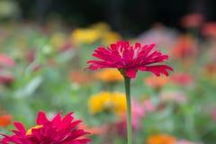 Красный zinnia в саде Стоковая Фотография RF