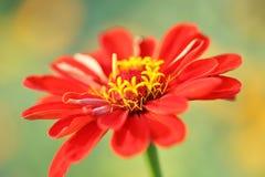 Красный Zinnia Стоковое Изображение
