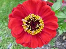 красный zinnia Стоковая Фотография