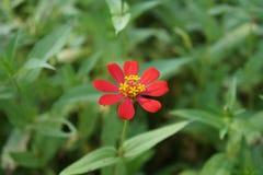 красный zinnia Стоковая Фотография RF