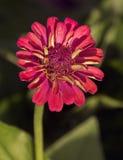 красный zinnia Стоковые Изображения RF