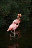 2 красных американских фламинго в озере Стоковые Фотографии RF