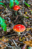 2 красных гриба - пластинчатый гриб мухы (muscaria мухомора) - конец-вверх Стоковое фото RF