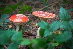 2 красных грибка грибов Стоковые Изображения RF