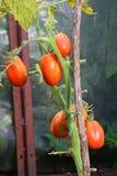 6 красных зрелых томатов сливы на крупном плане Буша в парнике в деревне летнего дня Vyritsa солнечного Стоковое Изображение