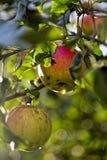2 красных зрелых яблока Стоковое Изображение