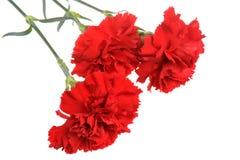 3 красных изолированного гвоздичного дерева Стоковое Изображение RF