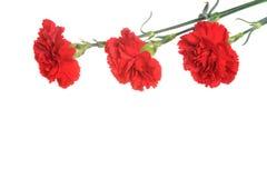 3 красных изолированного гвоздичного дерева Стоковые Изображения