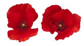 2 красных изолированного мака Стоковая Фотография RF
