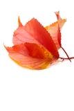 3 красных листь осени, на белизне Стоковое фото RF