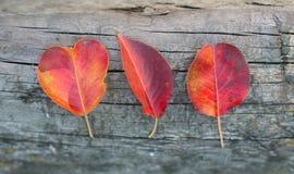 3 красных листь осени Стоковая Фотография