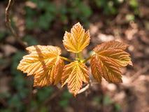 4 красных листь стоя вверх от пола леса Стоковое фото RF