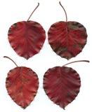 4 красных листь Стоковые Изображения