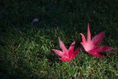 2 красных кленового листа на траве Стоковые Изображения
