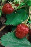 2 красных клубники в саде Стоковое Изображение RF