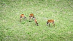 4 красных оленя в зеленом луге стоковое фото