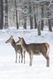 2 красных оленя в зиме Стоковое фото RF