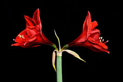 2 красных цветка амарулиса стоковые изображения