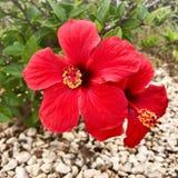 2 красных цветка гибискуса Стоковая Фотография RF