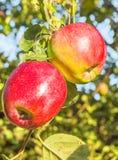 2 красных яблока на ветви в саде, конце-вверх Стоковое Изображение