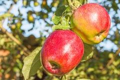 2 красных яблока на ветви в саде, конце-вверх Стоковая Фотография