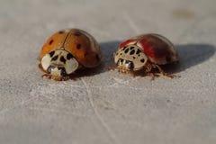 2 красных ladybirds ждать фото Стоковые Изображения