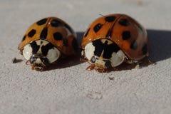 2 красных ladybirds Стоковое Изображение RF