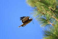 Красн-замкнутый хоук в полете к гнездю   Стоковая Фотография RF