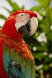 Красн-и-зеленый Macaw стоковые фотографии rf