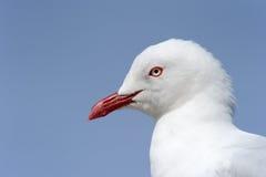Красн-Представленная счет чайка Стоковое Фото