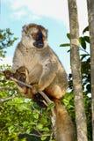 Красн-противостоят коричневый lemur, остров lemur, andasibe Стоковое Фото