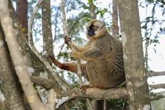 Красн-противостоят коричневый lemur, остров lemur, andasibe Стоковое Изображение